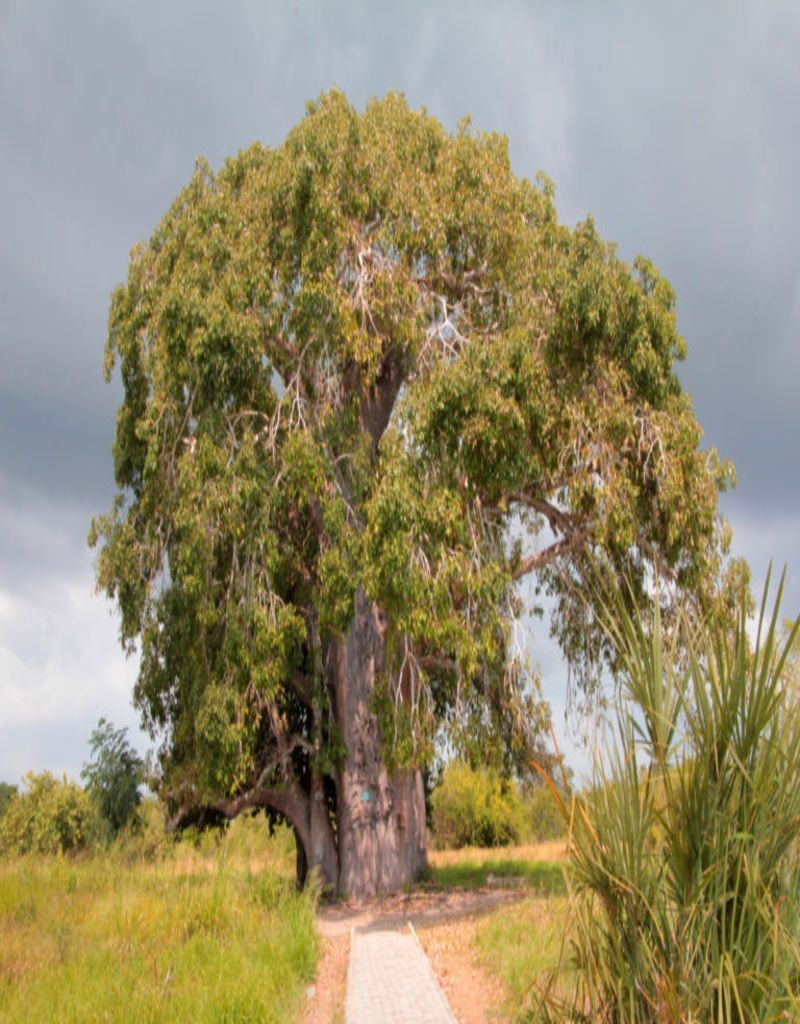 Baobab. Bagamoyo